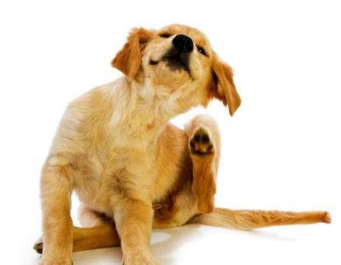 小狗总爱挠痒痒可也看不到有虫子这是怎么回事